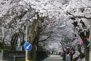桜写真(長良川左岸堤)