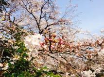 「清水川の桜のつぼみ」