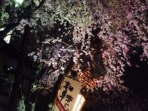 「岐阜の夜桜」
