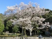 「鵜飼桜」