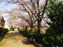 「清水川沿いの桜並木」