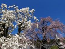 「木蓮と桜」